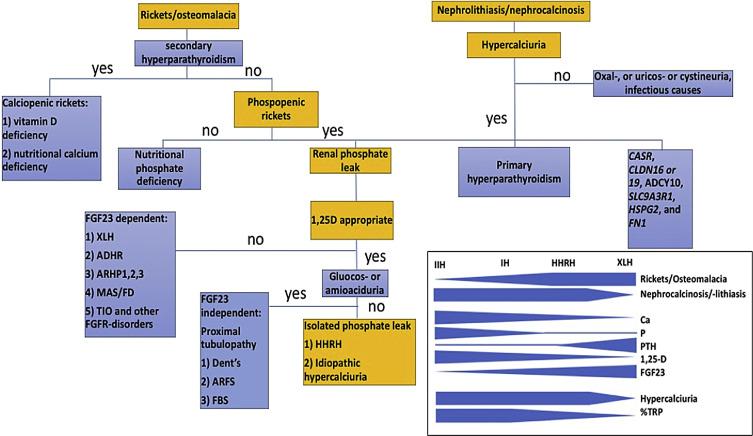 Phosphorus homeostasis and related disorders - ScienceDirect