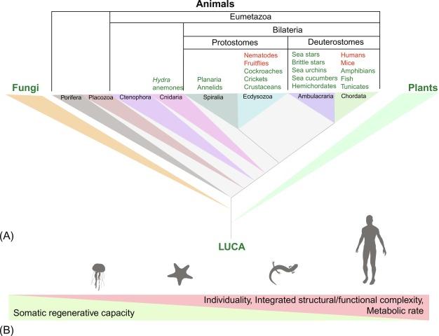 Limb regeneration in amphibians immunological considerations when dating