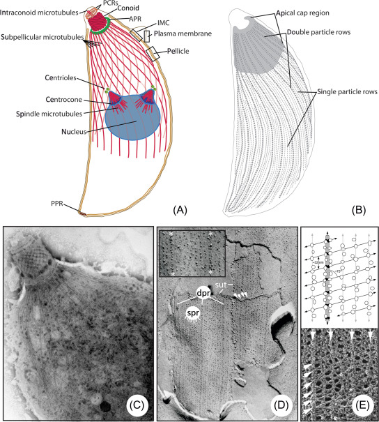 Apicomplexan paraziták meghatározása - Apicomplexan paraziták általi gazdasejt invázió