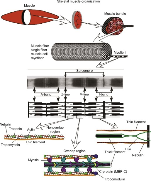 Epimysium - an overview   ScienceDirect Topics