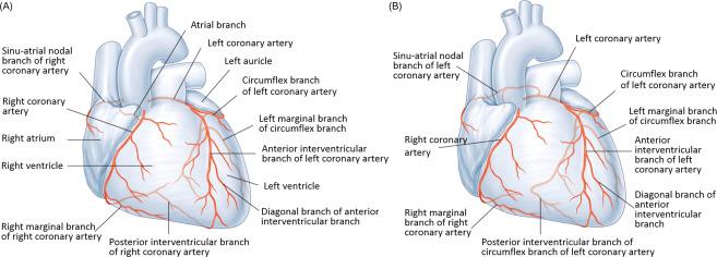 Coronary Arteries And Heart Sciencedirect
