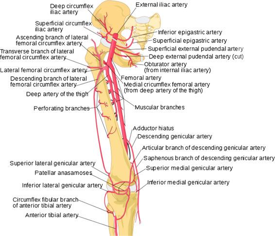 Iliac Artery - an overview | ScienceDirect TopicsScienceDirect.com