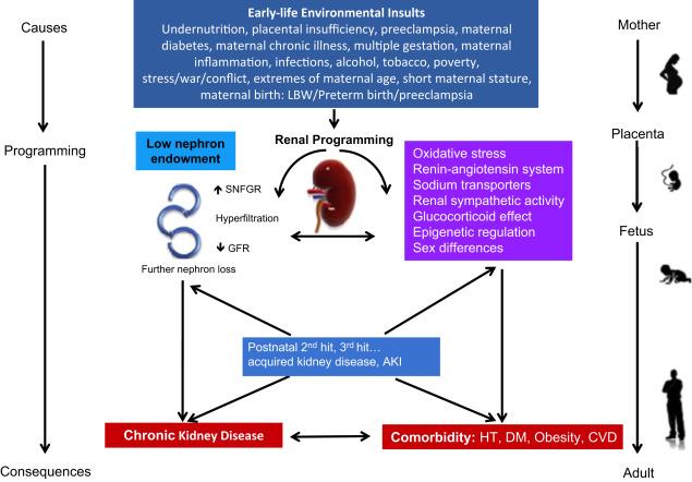 Prenatal Antecedents Of Chronic Kidney Disease Sciencedirect
