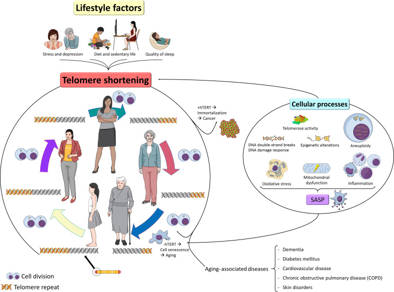 Beneficial effect of physical exercise on telomere length and aging, and genetics of aging-associated noncommunicable diseases - ScienceDirect