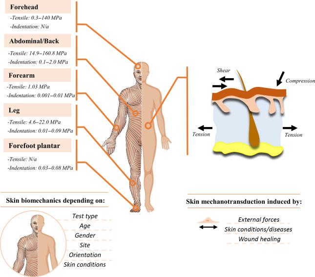 Skin Mechanobiology and Biomechanics: From Homeostasis to Wound Healing -  ScienceDirectScienceDirect.com