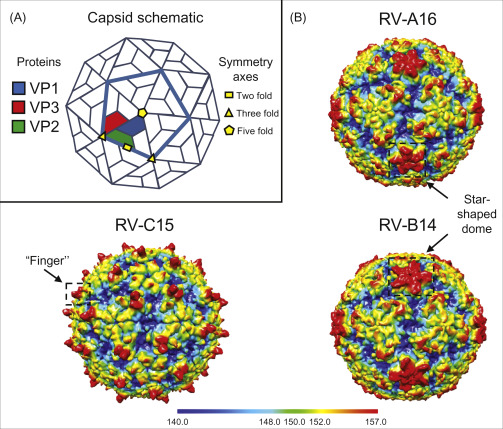 Rhinovirus Structure Replication And Classification Sciencedirect