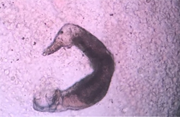 dactylogyrus paraziták monogenetikus trematodes van-e száj parazitákkal