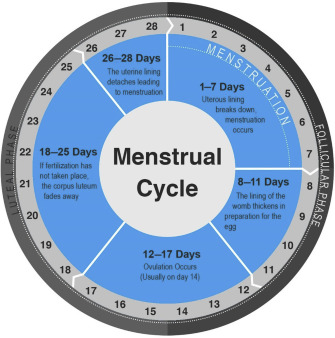 Guide periods mens to Phases of