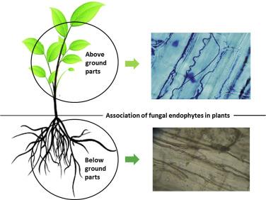 Fungal endophytes: potential biocontrol agents in