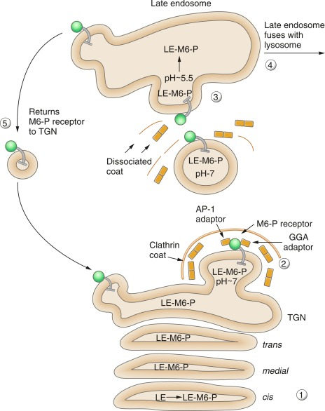 Organelle Structure And Function - ScienceDirect
