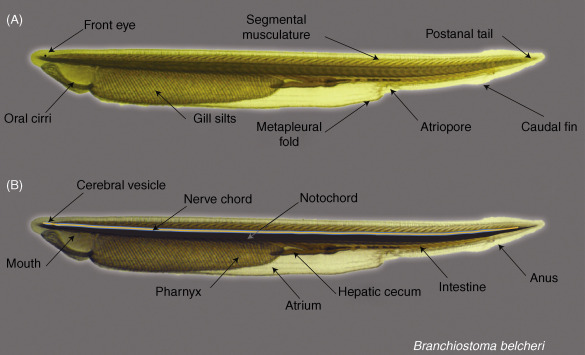 Amphioxus as a Model for Understanding the Evolution of Vertebrates ...