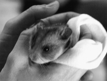 Hamster - an overview | ScienceDirect Topics