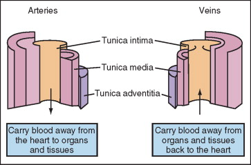 Tunica Intima - an overview | ScienceDirect Topics