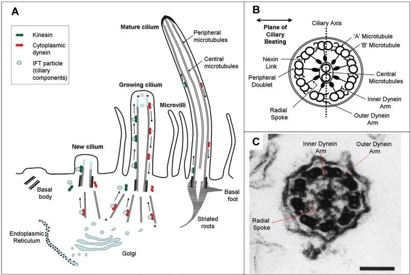 cilium microvilli diagram schematics online Cilium Microvilli Diagram cilium microvilli diagram wiring diagram