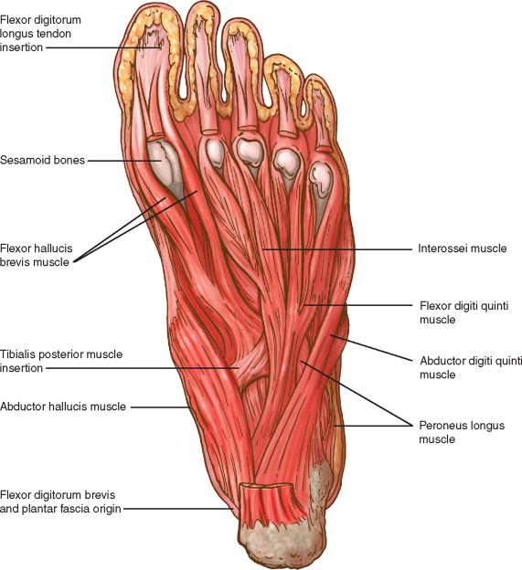 Extensor Digitorum Longus Muscle An Overview Sciencedirect Topics