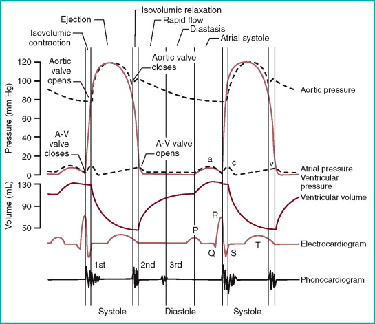 stages of cardiac cycle