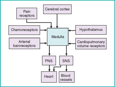 where you cardiovascular brain