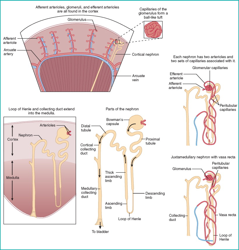 Renal System - an overview   ScienceDirect Topics
