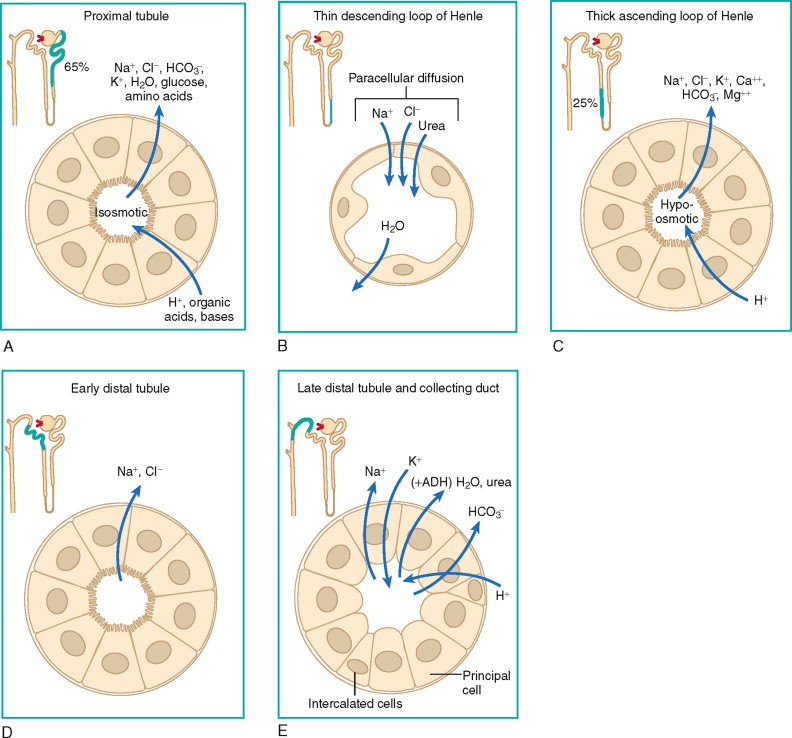 Renal Tubule An Overview Sciencedirect Topics