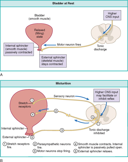 Renal Calyx - an overview | ScienceDirect Topics