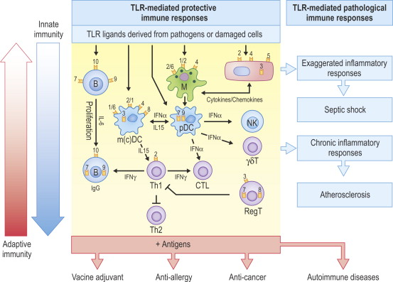 Innate Immunity - an overview | ScienceDirect Topics