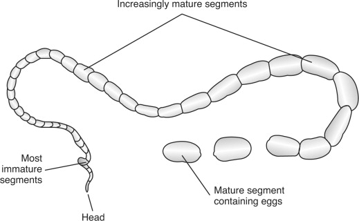 Cestoda An Overview Sciencedirect Topics