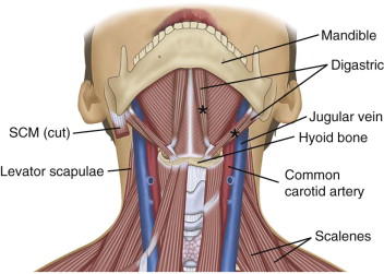 Digastric Muscle - an overview | ScienceDirect Topics