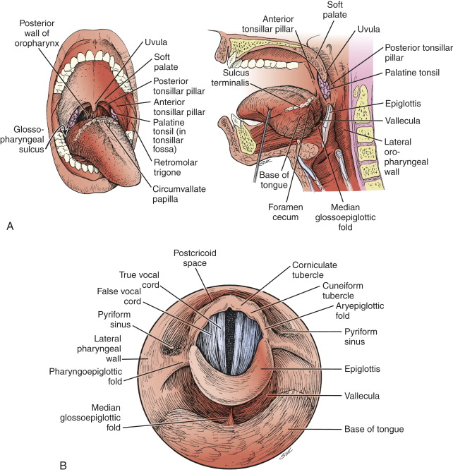 Oropharynx An Overview Sciencedirect Topics