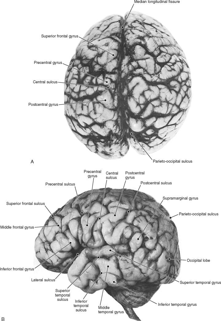 Cerebral Hemisphere An Overview Sciencedirect Topics