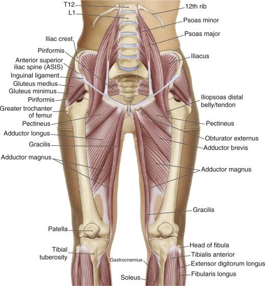 Hip Flexors - an overview | ScienceDirect Topics