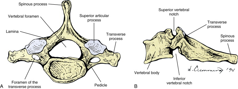 Cervical Vertebra An Overview Sciencedirect Topics