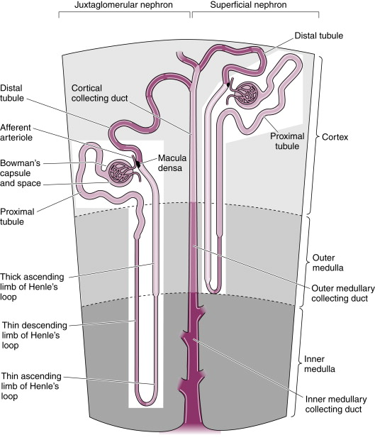 Collecting Duct System - an overview | ScienceDirect Topics