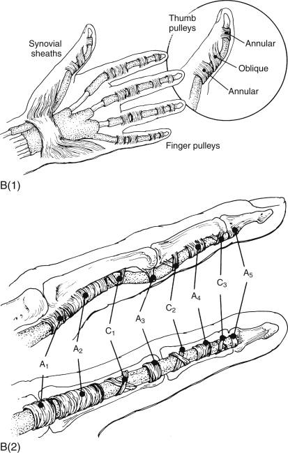 Not thumb flexor tendons excellent interlocutors