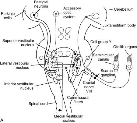 Vestibular Nerve An Overview Sciencedirect Topics
