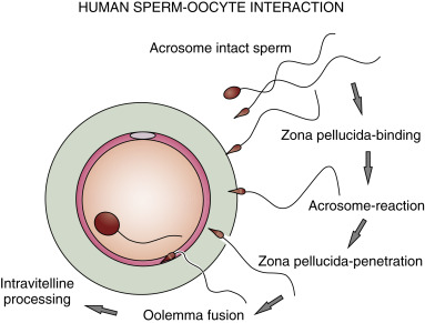 Semen Analysis - an overview | ScienceDirect Topics