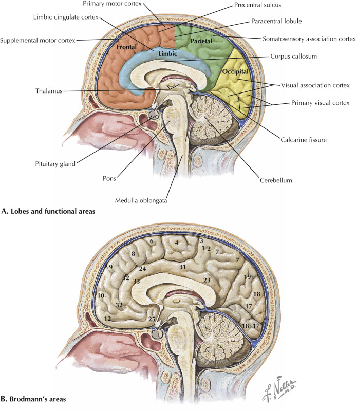 Limbic Lobe An Overview Sciencedirect Topics