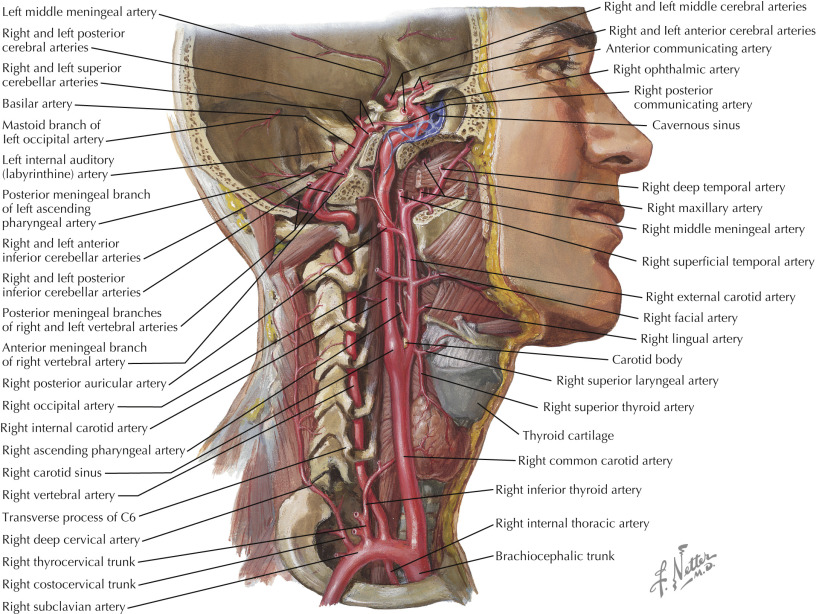 Internal Carotid Artery An Overview Sciencedirect Topics