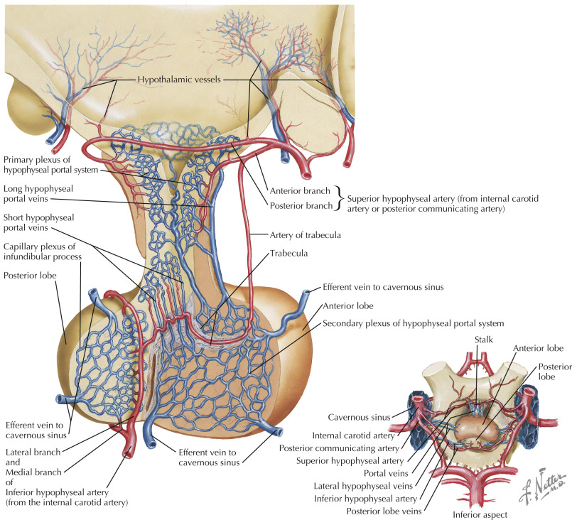 Superior Hypophysial Artery An Overview Sciencedirect Topics