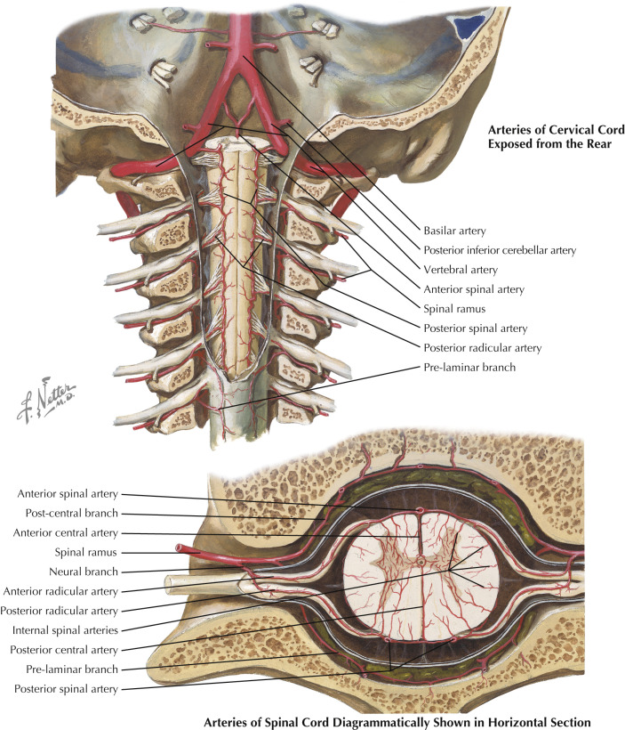 Anterior Spinal Artery An Overview Sciencedirect Topics