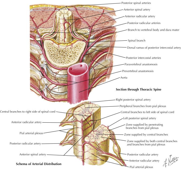 Radicular Artery An Overview Sciencedirect Topics