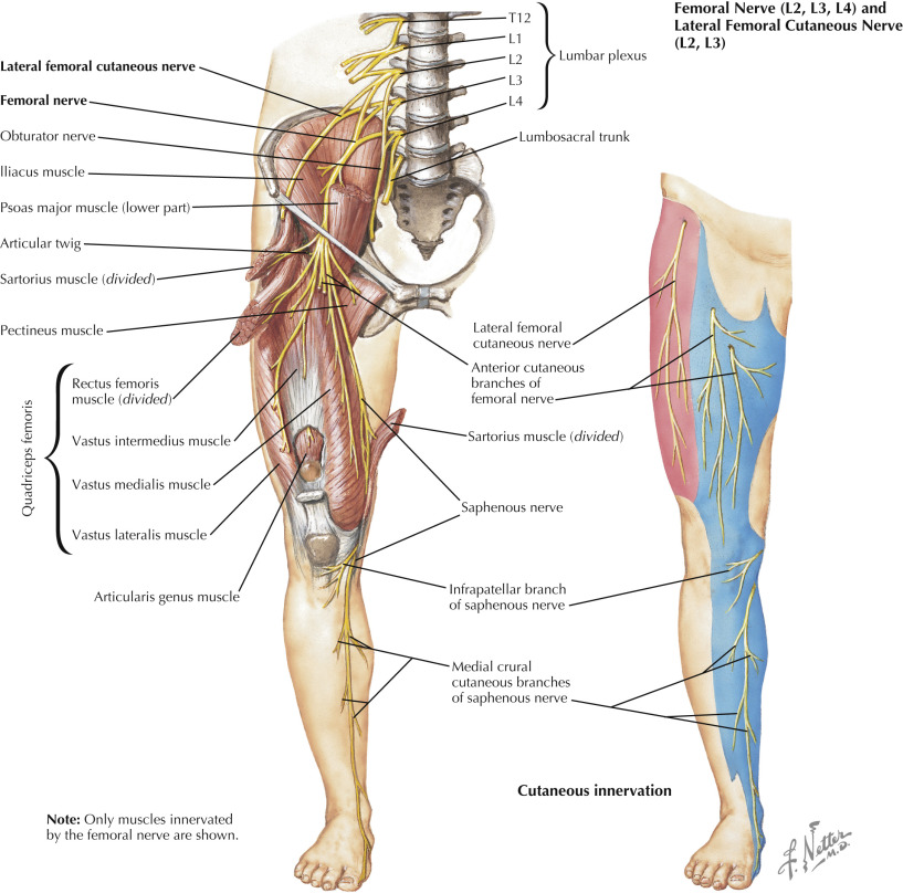 Quadriceps Femoris Muscle An Overview Sciencedirect Topics