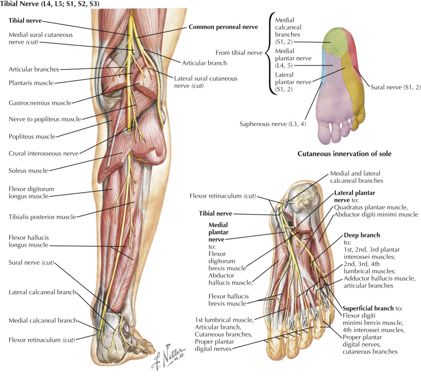Plantar Flexors An Overview Sciencedirect Topics