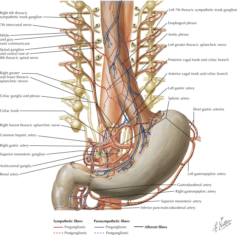 Thoracic Splanchnic Nerves An Overview Sciencedirect Topics