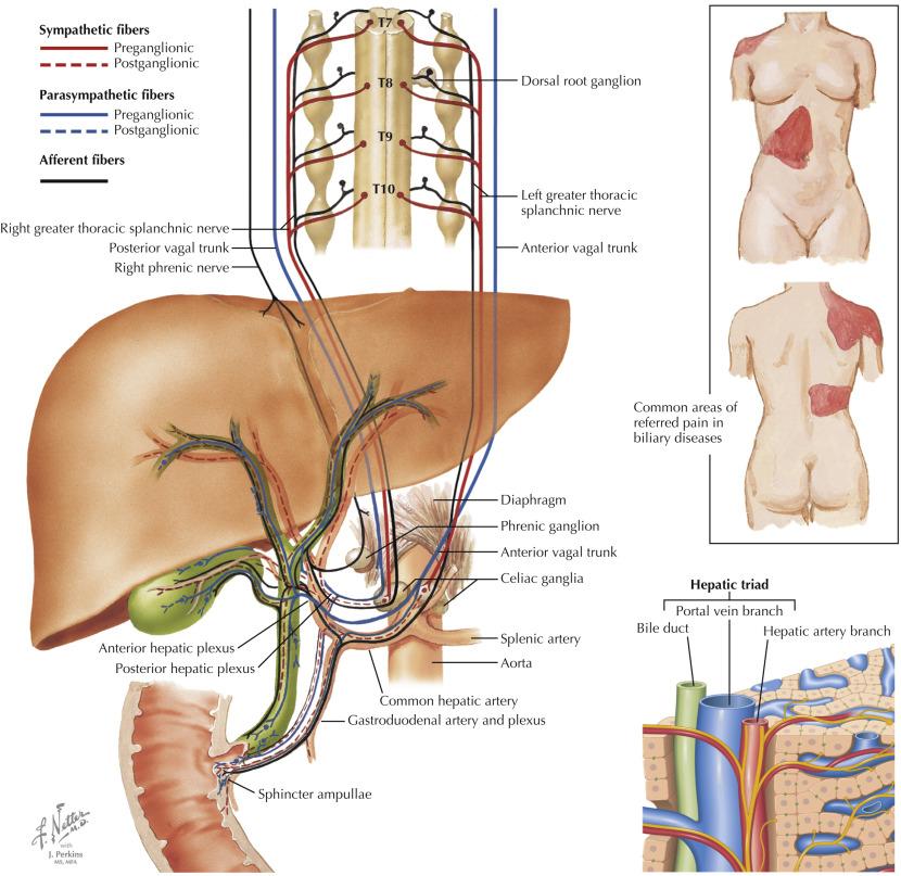 Celiac Ganglia An Overview Sciencedirect Topics