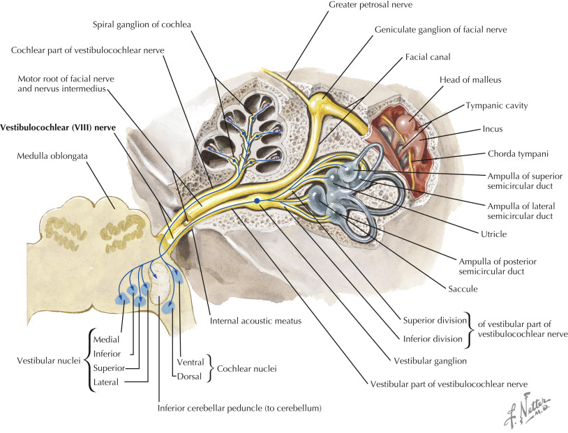 Vestibulocochlear Nerve An Overview Sciencedirect Topics