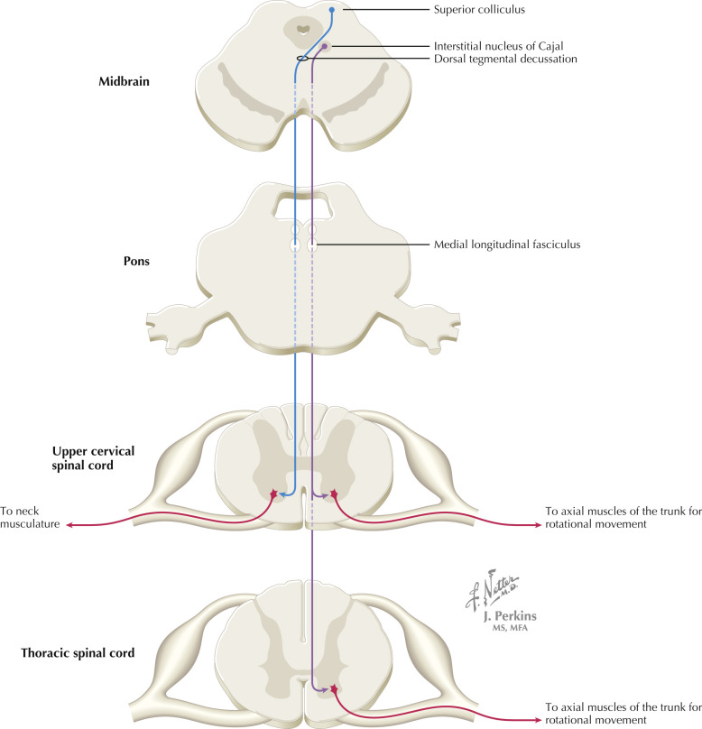 name three spinal cord mediated reflexes