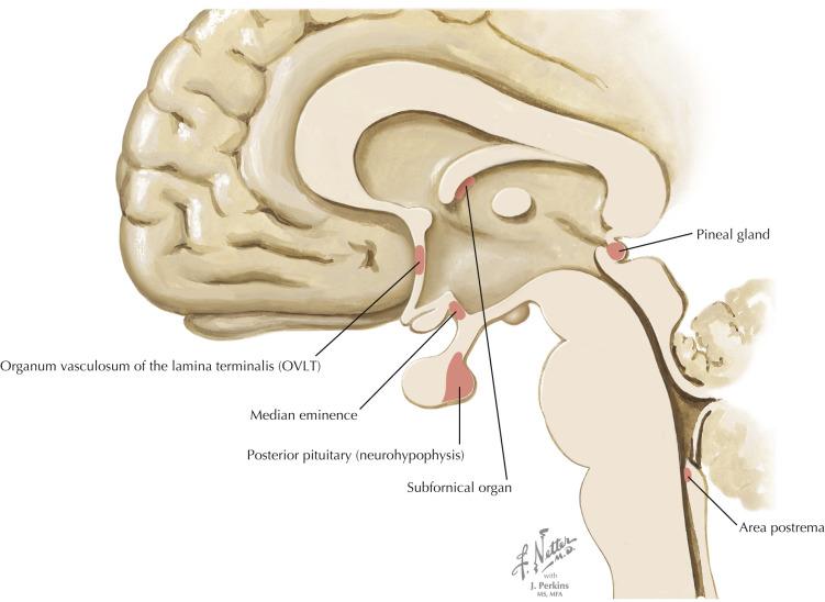 Circumventricular Organs An Overview Sciencedirect Topics