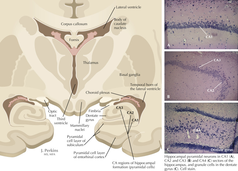 Hippocampal Formation An Overview Sciencedirect Topics