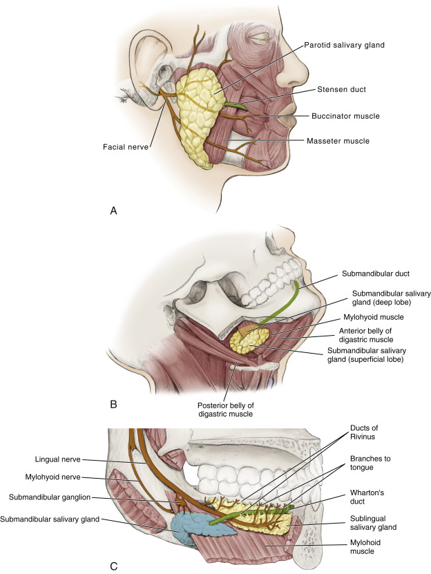 Stylohyoid Muscle An Overview Sciencedirect Topics