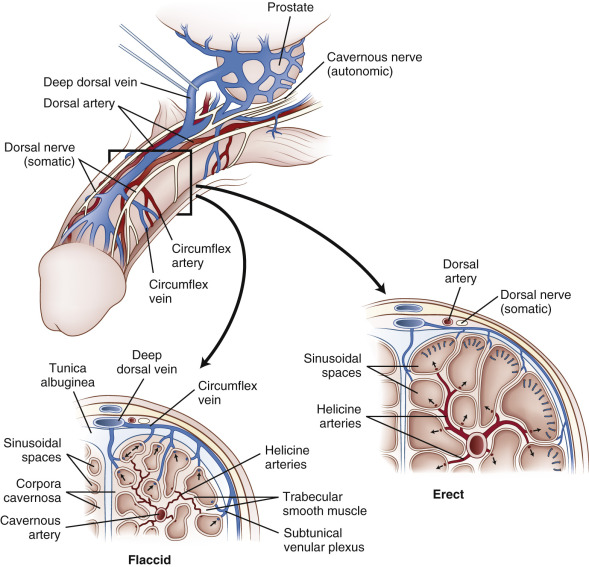 Helicine Artery An Overview Sciencedirect Topics